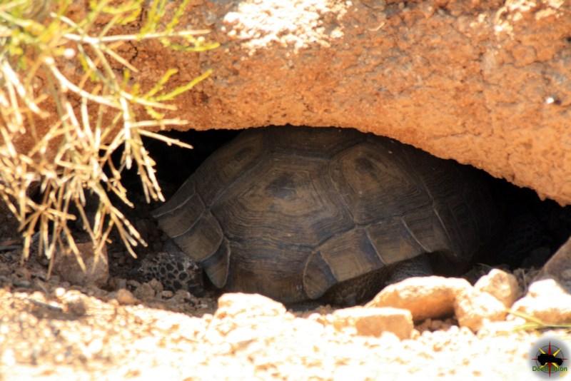 Desert Tortoise (Gopherus agassizii) in its burrow