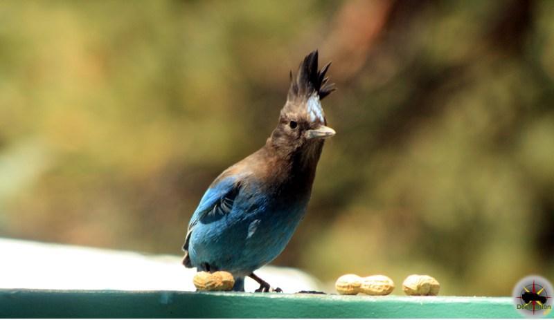 Stellar's Jay ( Cyanocitta stelleri ) stealing peanuts in Big Bear, California