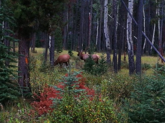 Destination Addict - Snapping Elk just outside Jasper, Alberta, Canada