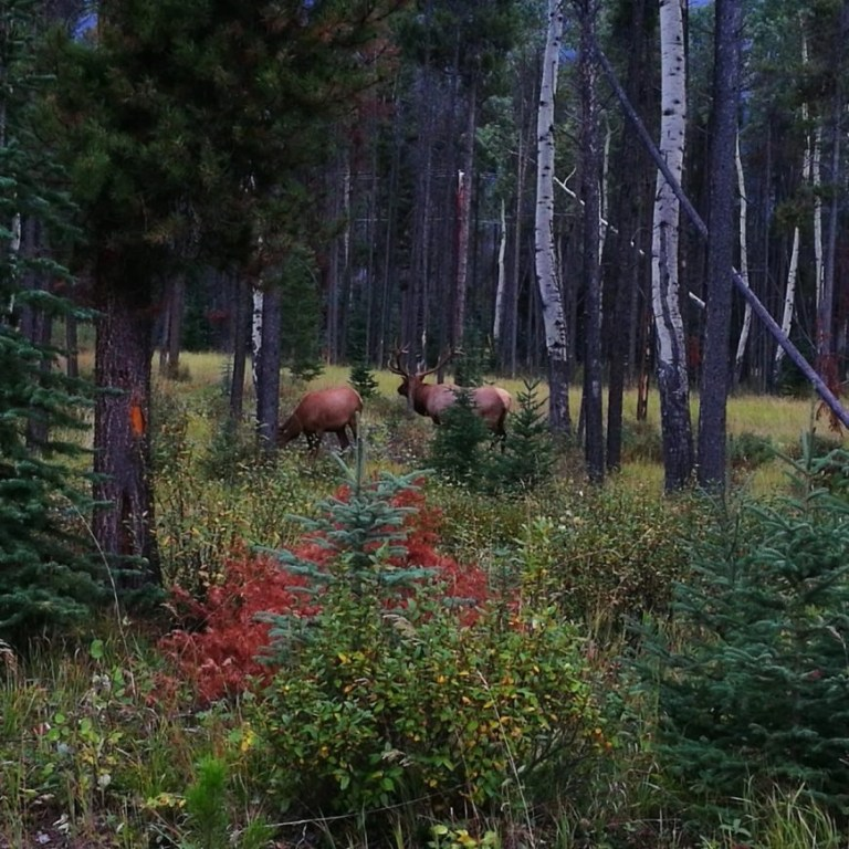 Destination Addict - Snapping Elk just outside Jasper, Alberta, Canada
