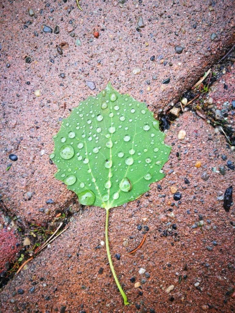 Rainy Leaf In Whistler, British Colombia, Canada
