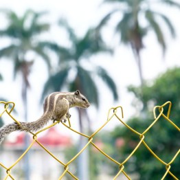 Squirrel on yellow fence in the park