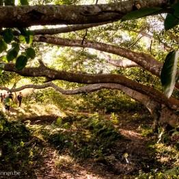 Massive tree in jungle