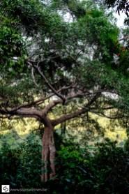 The largest mango tree of Kep National Park