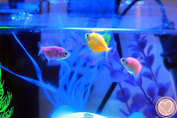 So you want to get a glofish here is our aquarium review for Glow in the dark fish walmart
