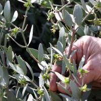 El aceite de jojoba, Simmondsia chinensis