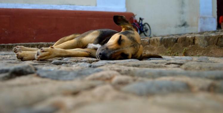 Kuba Straßenhund