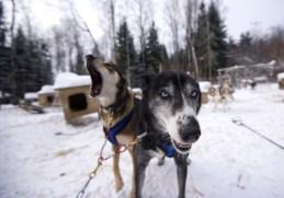 Schlittenhunde Kanada