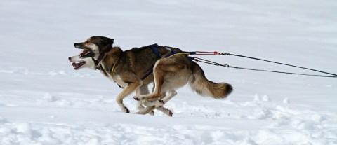 Hundeschlittenfahren Yukon 2
