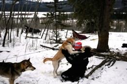Schlittenhund Yukon