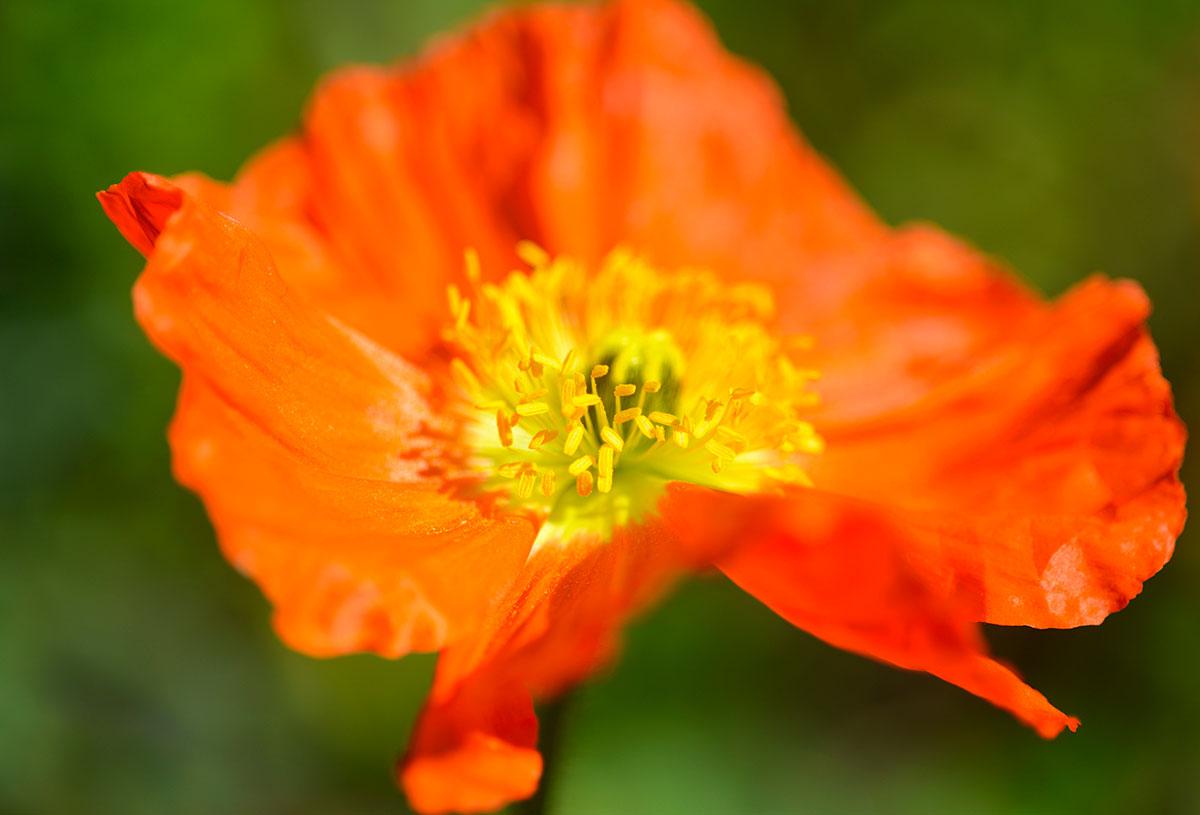 les 26 plus belles plantes a fleurs orange pour le jardin detente jardin
