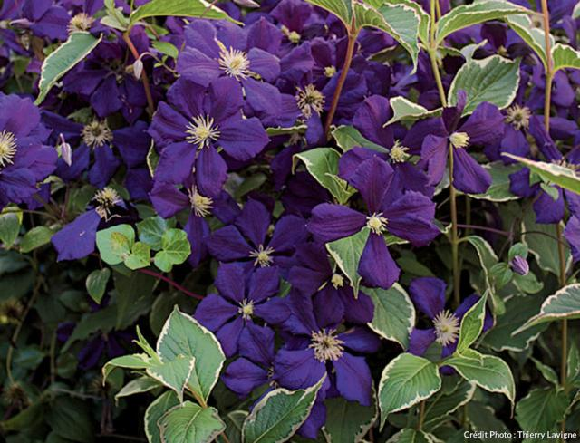 Clématite 'Étoile Violette'
