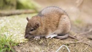 Cómo funciona el veneno para ratas