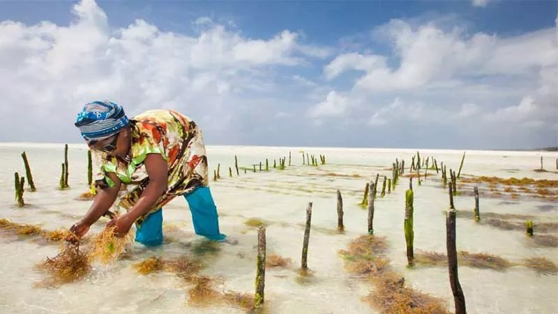 woman picking sea moss on white sandy beach - where does sea moss come from