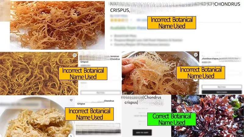 How-to-Spot-Fake-Sea-Moss-with-4-Tips-on-Buying-Real-Sea-Moss---www.detoxandcure.com - sea moss shown on various online listings that are using the incorrect botanical name - top left 5 images of golden sea moss using incorrect botanical name - bottom right purple image of chondrus crispus using correct name