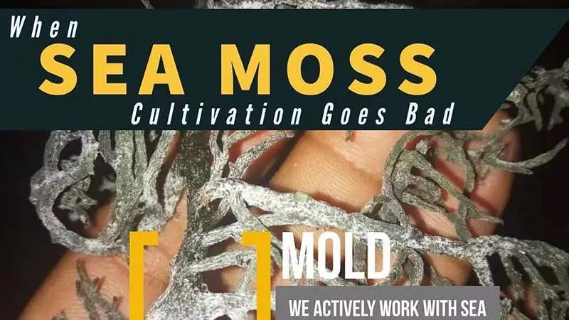 """close up of purple sea moss that has been degraded by mold in the drying process. This photo is taken at night with the hand of the person holding this piece of seaweed up close visible. The caption overlaid on this image reads """"When sea moss cultivation goes bad"""""""