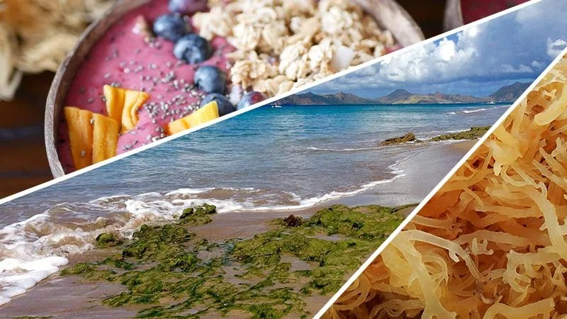 Ultimate-Sea-Moss-Guide-How-to-get-The-Best-in-2020 - smoothie bowl with sea moss, blueberries, mango, chia seeds and granola in a coconut shell bowl on the top left. center image is of White sandy beach with smooth rocks on the shore line covered in seaweed as the waves lap over the top of them at low tide under a clear blue sky with some light cloud cover in the distance. Bottom right is an image of sea moss of the Cottonii variety that has been soaked and has taken on a golden translucent look.