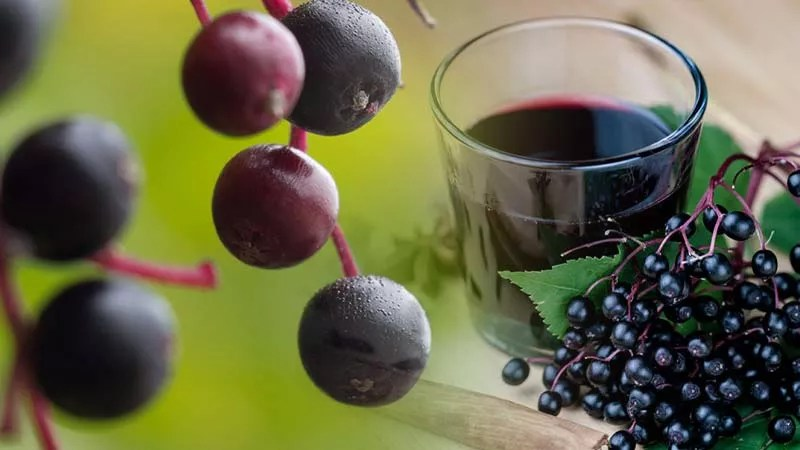 Easy to Make Elderberry Syrup Recipe. Image of Elderberries on a branch taken up close. Their deep purple tones stand out against the blurred green backdrop f the leaves. An image of a glass of Elderberry juice is blended in to the right of the closeup photo of the Elderberries