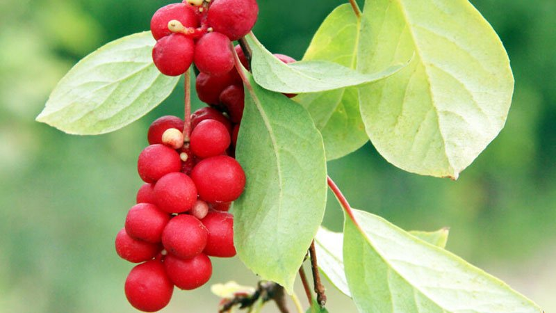 What-are-Schisandra-Berries-on-a-branch