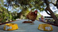 Chicken Named Gloria Determines Which Burger King Restaurants Get Chicken Fries