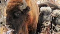 Meet The Father-Son Duo Importing American Bison To Siberia To Save The Planet