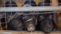 Animal rights activists are using tech to expose the horrors of factory farms