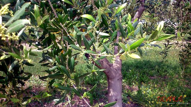 Olivos propiedad de Claramunt. Fuente: Devinos con Alicia