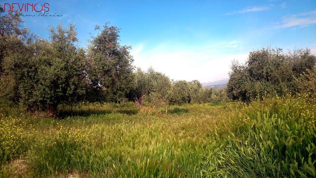 livo de la variedad Picual, cultivo ecológico propiedad de Cortijo Spiritu Santo. Fuente: Devinos con Alicia
