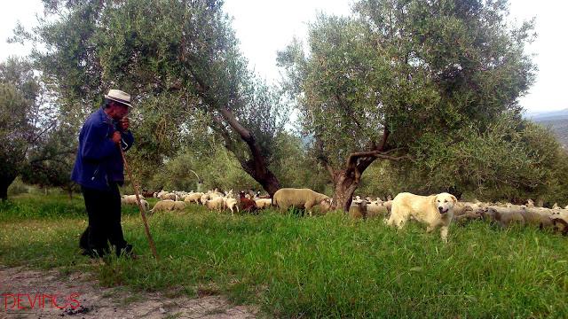 Ganado bovino local pastando en propiedad de Cortijo Spiritu Santo. Fuente: Devinos con Alicia