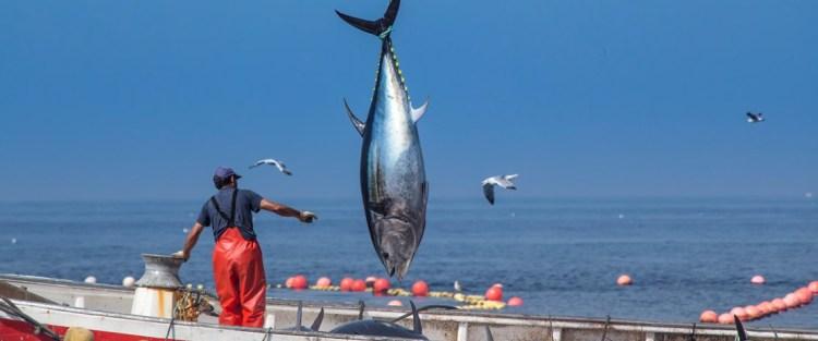 Levantá del atún rojo de almadraba en Barbate. Copyright: Diputación de Cádiz. Fotografía de José María Caballero