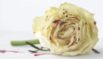 a white rose with drops of blood on it