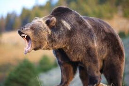 real grizzly bear