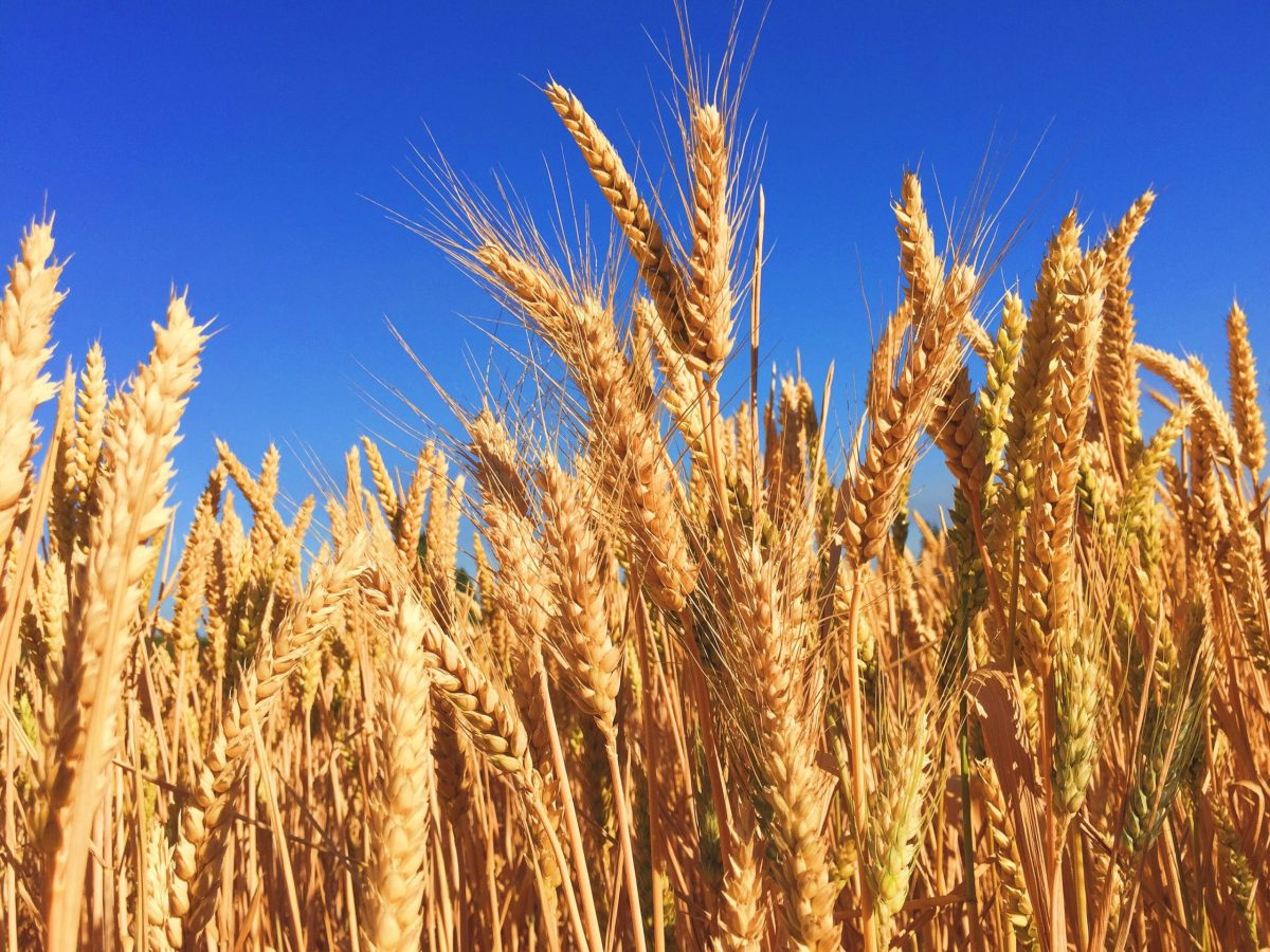 Blue Sky and Barley nearly ready for harvest