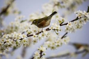 Waxeye in Plum Blossom