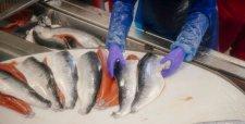 Alga nociva habría causado la muerte a más de un millón de salmones en cultivos de Camanchaca