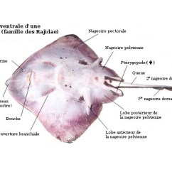Ray And Skate Diagram Viking Ship With Labels Fish 10 Stromoeko De External Anatomy Rh Dfo Mpo Gc Ca Barracuda Dissection