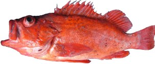 Image result for public pictures of snapper bc