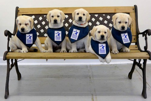 Warrior Canine Connection puppies