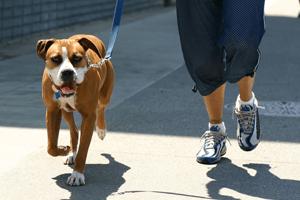 Walking Dog for Valentine's Day