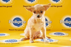 ChiChi Puppy Bowl 2016