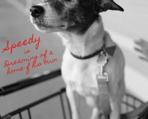 Speedy the jack russell terrier