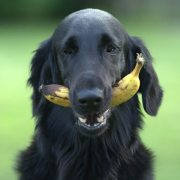 benefits of banana for dogs