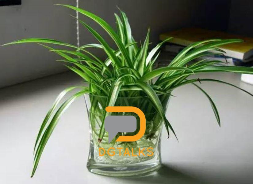 dg plant 吊兰