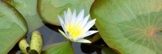 whitelotusflower.jpg