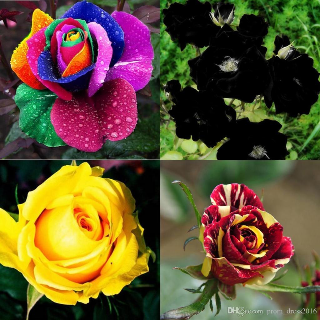new varieties colors rose