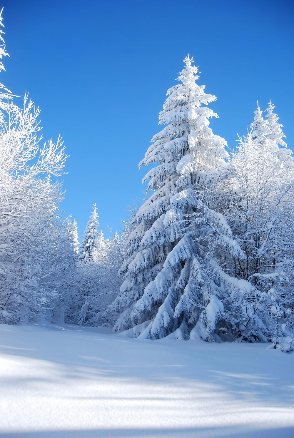 Christmas Falling Snow Wallpaper Note 3 2019 Blue Sky Thick Snow Covered Trees Forest Photo