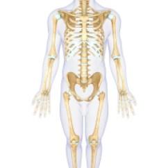 Bones Human Skeleton Diagram Back Hot Tub Wiring Uk Skeletal System - Diabetes And Bones: Blood Glucose Levels