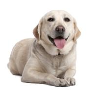 Life With Kolumbo, My Hypoglycemia Alert Dog