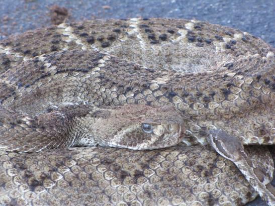 Rattlesnake and Snakelet