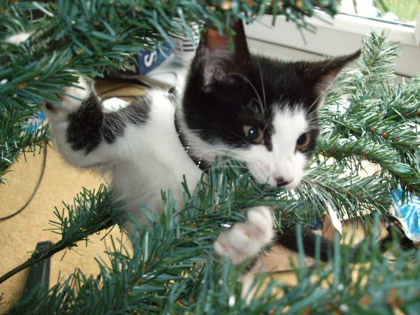 Cat chewing Christmas tree